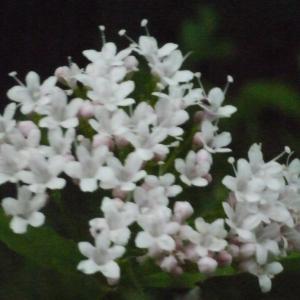 Valeriana tripteris L. (Valériane à feuilles trifides)