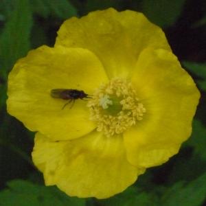 Photographie n°166690 du taxon Meconopsis cambrica (L.) Vig. [1814]