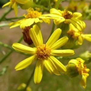 Photographie n°166715 du taxon Senecio jacobaea L. [1753]