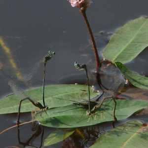 - Persicaria amphibia (L.) Gray [1821]