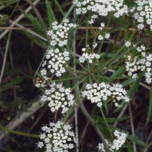 Photographie n°166767 du taxon Cicuta virosa L. [1753]