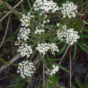 Cicuta tenuifolia Schrank (Ciguë aquatique)