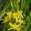 Liliane Roubaudi - Narthecium ossifragum (L.) Huds.