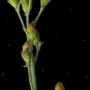 Photographie n°166885 du taxon Hypericum pulchrum L. [1753]