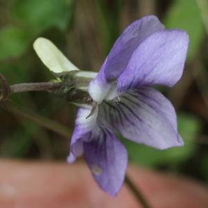 Viola laricicola Marcussen