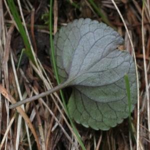 - Viola laricicola Marcussen [2003]