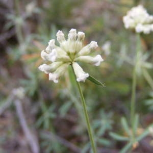Dorycnium pentaphyllum Scop. (Dorycnie à cinq feuilles)