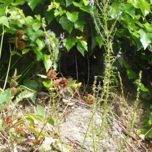 Photographie n°167148 du taxon Anarrhinum bellidifolium (L.) Willd.