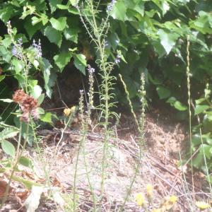 Photographie n°167230 du taxon Anarrhinum bellidifolium