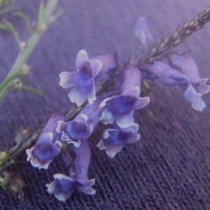 Photographie n°167231 du taxon Anarrhinum bellidifolium