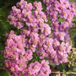Photographie n°167245 du taxon Achillea millefolium subsp. millefolium
