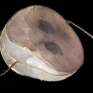 Photographie n°167259 du taxon Lunaria annua L.