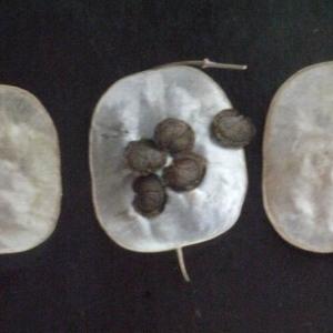 Photographie n°167262 du taxon Lunaria annua L.