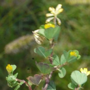 Photographie n°167291 du taxon Trifolium micranthum Viv. [1824]