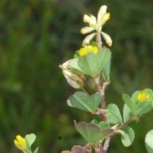 Photographie n°167327 du taxon Trifolium micranthum Viv. [1824]