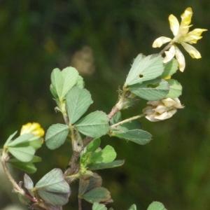- Trifolium micranthum Viv. [1824]
