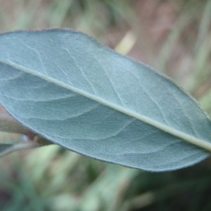 Salix repens L. (Saule rampant)