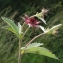 Liliane Roubaudi - Potentilla palustris (L.) Scop. [1771]