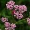 Marc Chouillou - Achillea millefolium subsp. millefolium