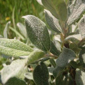 Photographie n°167594 du taxon Salix lapponum L. [1753]