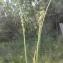 Liliane Roubaudi - Carex divulsa Stokes