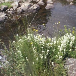 Photographie n°167638 du taxon Galium boreale L.