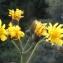 Liliane Roubaudi - Crepis paludosa (L.) Moench [1794]