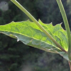 Photographie n°167668 du taxon Crepis paludosa (L.) Moench [1794]