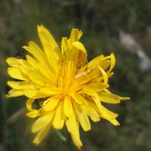 Crepis paludosa (L.) Moench (Crépide des marais)