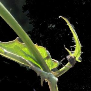 - Crepis paludosa (L.) Moench [1794]