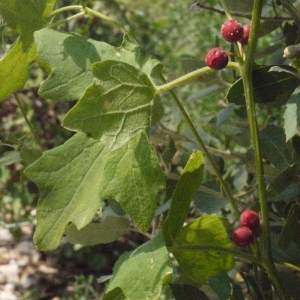 Photographie n°167718 du taxon Bryonia cretica subsp. dioica (Jacq.) Tutin [1968]