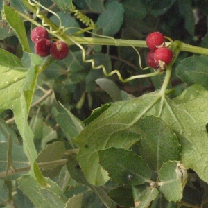 Photographie n°167719 du taxon Bryonia cretica subsp. dioica (Jacq.) Tutin [1968]