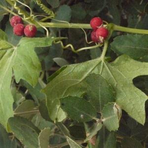 Photographie n°167721 du taxon Bryonia cretica subsp. dioica (Jacq.) Tutin [1968]