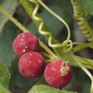 Photographie n°167722 du taxon Bryonia cretica subsp. dioica (Jacq.) Tutin [1968]