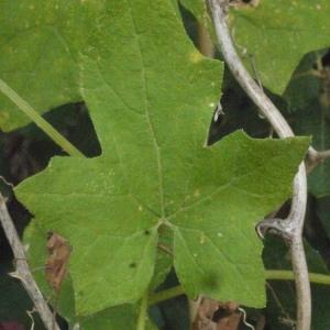 Photographie n°167724 du taxon Bryonia cretica subsp. dioica (Jacq.) Tutin [1968]