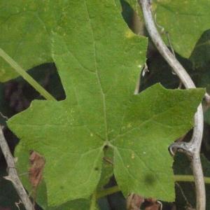 Photographie n°167725 du taxon Bryonia cretica subsp. dioica (Jacq.) Tutin [1968]