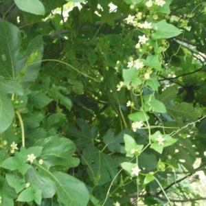 Photographie n°167727 du taxon Bryonia cretica subsp. dioica (Jacq.) Tutin [1968]