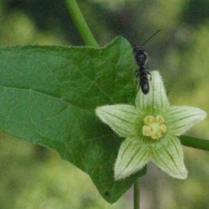 Photographie n°167728 du taxon Bryonia cretica subsp. dioica (Jacq.) Tutin [1968]