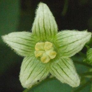 Photographie n°167730 du taxon Bryonia cretica subsp. dioica (Jacq.) Tutin [1968]