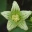 Liliane Roubaudi - Bryonia cretica subsp. dioica (Jacq.) Tutin [1968]