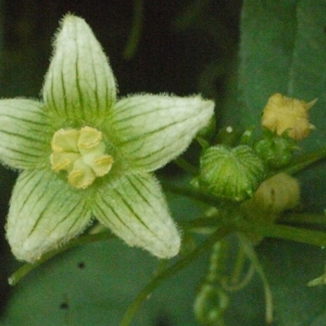 Photographie n°167731 du taxon Bryonia cretica subsp. dioica (Jacq.) Tutin [1968]