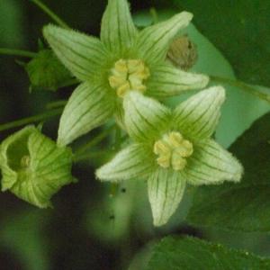 Photographie n°167732 du taxon Bryonia cretica subsp. dioica (Jacq.) Tutin [1968]