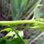 Emmanuel Stratmains - Baccharis halimifolia L.