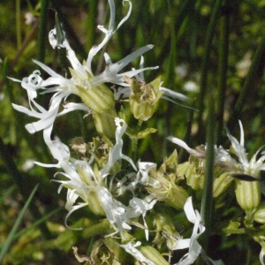 Photographie n°167851 du taxon Silene flos-cuculi (L.) Clairv. [1811]