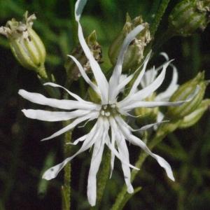 Photographie n°167853 du taxon Silene flos-cuculi (L.) Clairv. [1811]