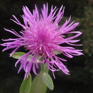 Centaurea thuillieri (Dostál) J.Duvign. & Lambinon [1978] (Centaurée de Thuillier)