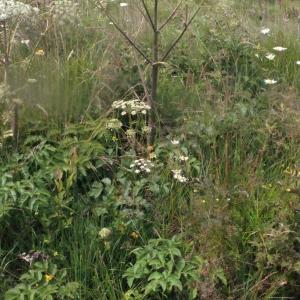 Photographie n°168000 du taxon Angelica sylvestris L. [1753]