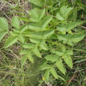 Photographie n°168006 du taxon Angelica sylvestris L. [1753]