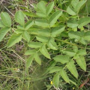 Photographie n°168007 du taxon Angelica sylvestris L. [1753]