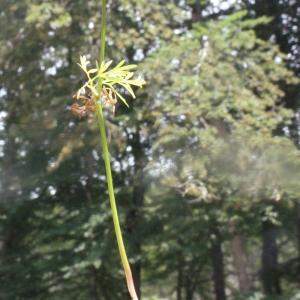 Photographie n°168016 du taxon Conopodium majus (Gouan) Loret